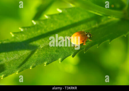 A light coloured Asian Lady Beetle (Coccinellidae) on a garden plant. - Stock Image