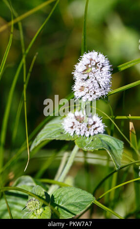 Water mint flowering.  Mentha aquatica. - Stock Image