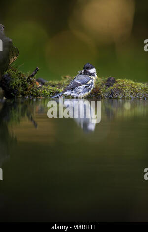 Great Tit (Parus major) reflected while bathing in a forest pool - Stock Image