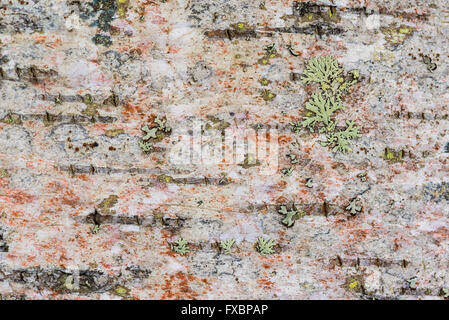 Closeup of birch bark details - Stock Image