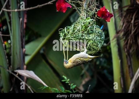 Female Masked Weaver Bird,Ploceus velatus, building, weaving a nest in Namibia, Africa - Stock Image