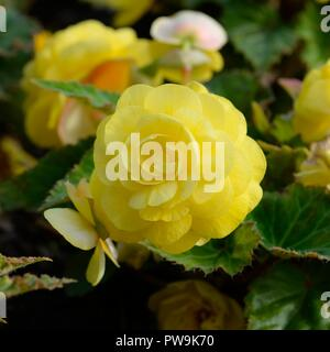 A yellow bedding Begonia flowering into late Autumn in Scotland, UK, Europe - Stock Image