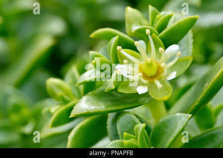 Sea Sandwort (honkenya peploides), close up of the plant's rather insignificant flower. - Stock Image