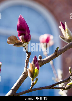 Flowering Magnolia buds in the spring: Springtime  purple flower buds on a magnolia tree in front of an arched window. - Stock Image