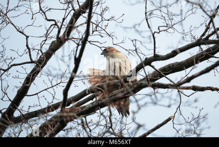 Northern Red-tailed Hawk, Latin: Buteo jamaicensis, flexing its red tail on maple tree branch in Mount Pleasant - Stock Image