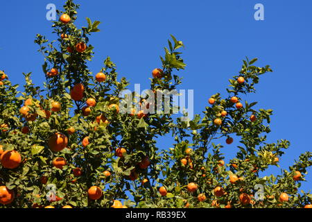 Juicy, ripe oranges growing on a tree against blue sky, Javea / Xabia, Alicante Province, Comunidad Valencia, Spain - Stock Image