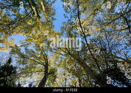 Tree canopy in autumn Milton park Cambridge UK 10/11/201 - Stock Image