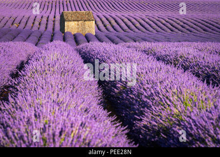Lavender fields in Valensole at sunset with stone house in Summer. Alpes de Haute Provence, France - Stock Image