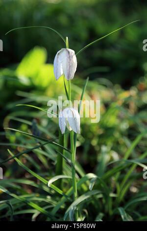 Flower in garden in South Otterington, Northallerton, North Yorkshire, England, United Kingdom - Stock Image