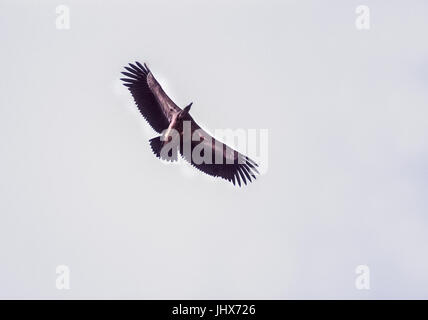 Indian Vulture,also known as Long-Billed Vulture,(Gyps indicus) soaring in flight using thermals-a critically endangered - Stock Image