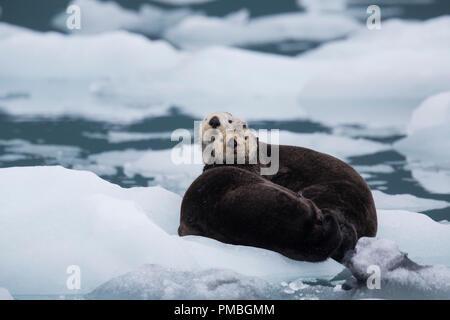 Sea otter, Prince William Sound, Chugach National Forest, Alaska. - Stock Image