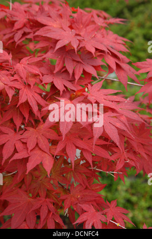 Red Japanese maple leaves - Stock Image