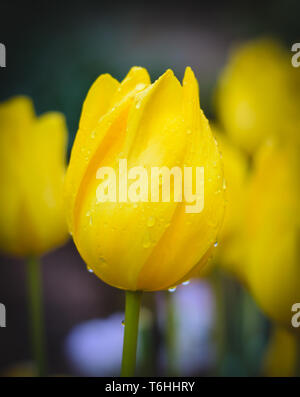 Yellow tulip blossom with water drops - Stock Image
