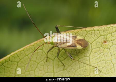 Adelphocoris lineolatus plant bug on underside of rhododendron leaf. Tipperary, Ireland - Stock Image