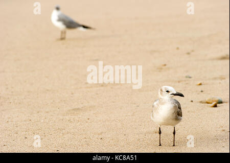 Seagull is a seagull standing in the sand and his flock mate standing in the background. - Stock Image