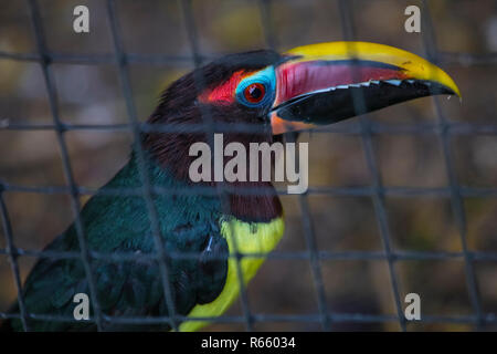 A shot of a Green Aracari. - Stock Image