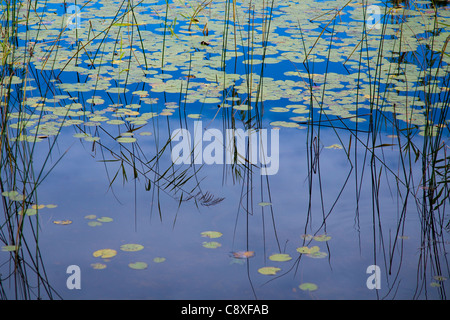 Pond with reeds and water lilies - Stock Image
