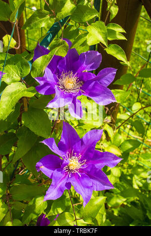 Two flowers on a purple clematis plant in north east Italy - Stock Image
