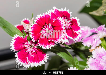 Impatiens hawkeri is native to Papua New Guinea and the Solomon Islands - Stock Image