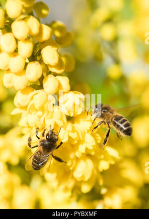 Stirlingshire, Scotland, UK - 27 October 2018: UK weather - despite a frosty start to the day, bees were soon drinking nectar from Mahonia flowers in the autumn sunshine in Stirlingshire Credit: Kay Roxby/Alamy Live News - Stock Image