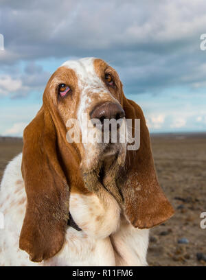 Basset Hound on a beach - Stock Image