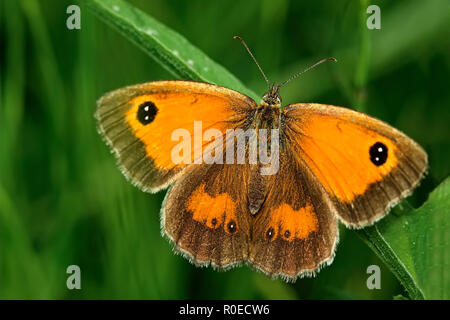 Gatekeeper Butterfly On A Stem Of Grass - Stock Image