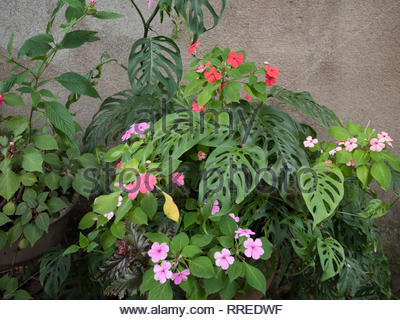 A private garden in Jinotega, Nicaragua, has impatiens and monsteras (also known as split leaf philodendrons)  as the main plants. - Stock Image