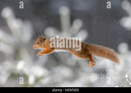 Red squirrel (Sciurus vulgaris) leaping during winter snow shower. Cairngorms National Park, Scotland. February - Stock Image