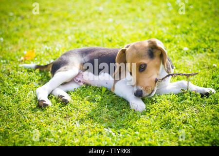 playful puppy beagle dog biting a wood stick - Stock Image