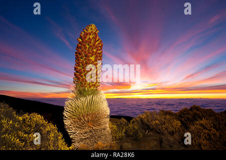 Silversword with sunset at Haleakala National Park, Maui, Hawaii - Stock Image