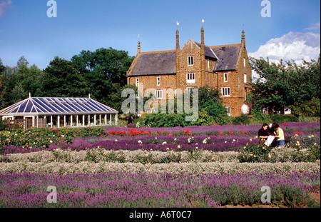 Fields at Norfolk Lavender West Norfolk England UK - Stock Image