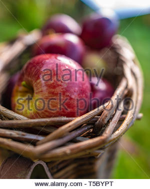 Organic hand-picked apples in a basket in an orchard - Stock Image