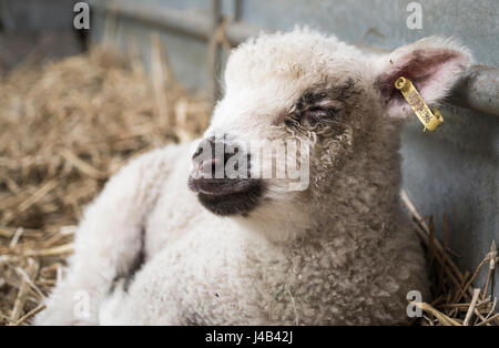 Happy white lamb lying down on hay with eyes closed in a barn on a farm - Stock Image