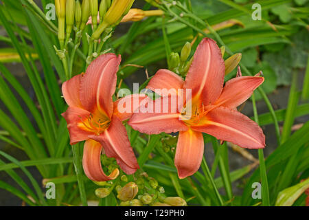 Hemerocallis 'Double Firecracker' in close up - Stock Image