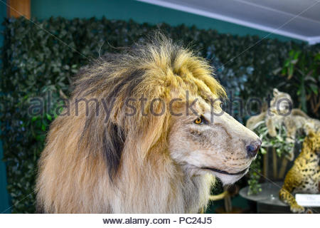 The head of a stuffed male African Lion with a full mane. Taxidermy lion. - Stock Image