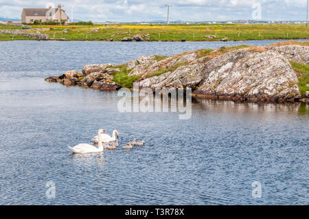 A pair of mute swans with six cygnets on Loch Bi in South Uist. - Stock Image