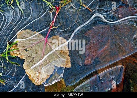 A fallen leaf caught under cracked ice in a frozen puddle after an early frost. - Stock Image