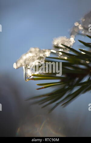 Snow on a pine twig has thawed and frozen again in the form of a little icicle - Stock Image