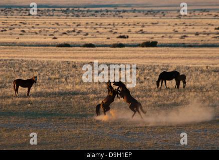 Fighting Wild Namibian Stallions, Equus ferus caballus, at the Garub Waterhole at Aus, Namibia, Africa - Stock Image
