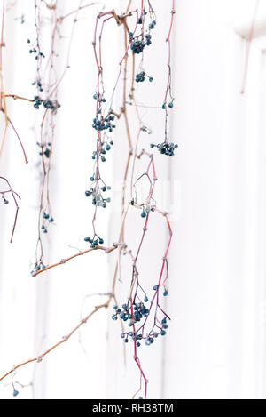 Twigs with berries - Stock Image