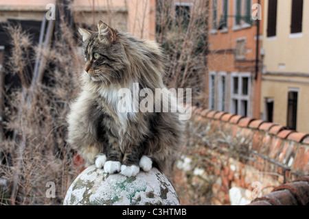 Desinterested cat, Venice, Italy - Stock Image