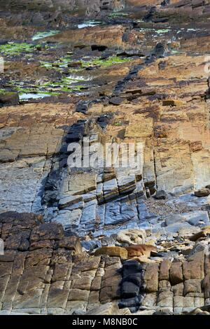 Igneous intrusion of Lamprophyre dike of Permian age in sandstone of Upper Stromness Flagstone. Coastal outcrop - Stock Image