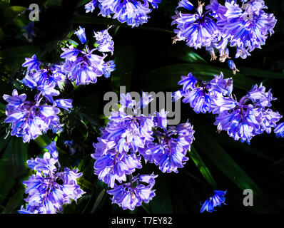 over head view point of blue bell flower heads, the flowers are beautifully lit by the sun with a black background, still life - Stock Image
