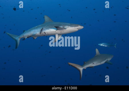 Grey reef sharks hurt by mating (Carcharhinus amblyrhynchos) - Stock Image