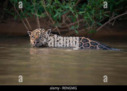 A Jaguar (Panthera onca) from North Pantanal - Stock Image