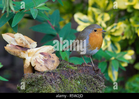 Robin, European Robin, Erithacus rubecula, standing on an old stump, log, next to a toadstool mushrrom in graden, Sussex, UK, Nov. - Stock Image