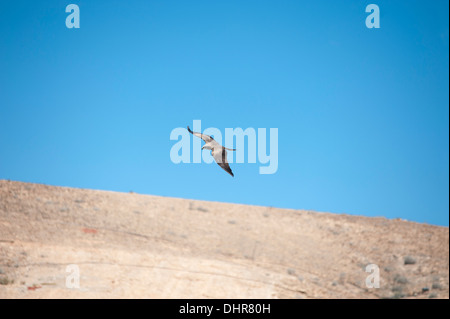 bird of prey soaring above mountain - Stock Image