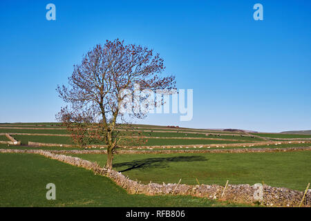 Tree and drystone walls near Bradwell. Peak District National Park, Derbyshire, England. - Stock Image
