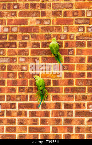 Ring-necked parakeets, Psittacula krameri, in Kent clinging to a wall to scrape at the brickwork with their beaks. - Stock Image