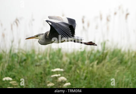 Grey Heron.Evening at Lunt Meadows. Sefton - Stock Image